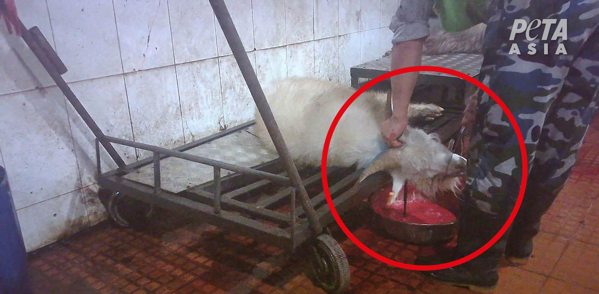 Kaschmirziege getötet