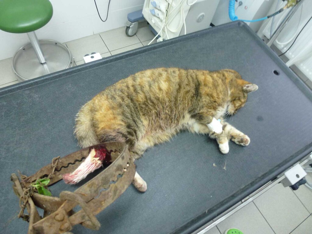 Katze mit Schwanz in Jagdfalle gefangen