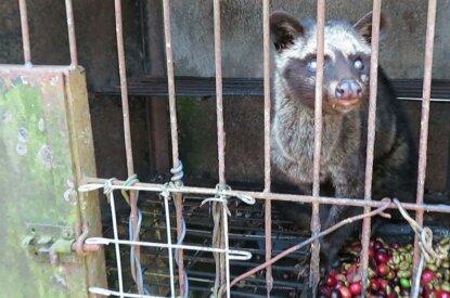 Schlechkatze im Käfig für Kopi Luwak