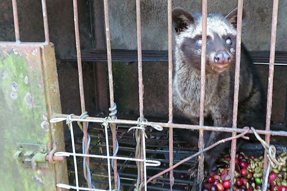 Schleichkatzen in Drahtkäfigen: Aktiv werden gegen Kopi Luwak