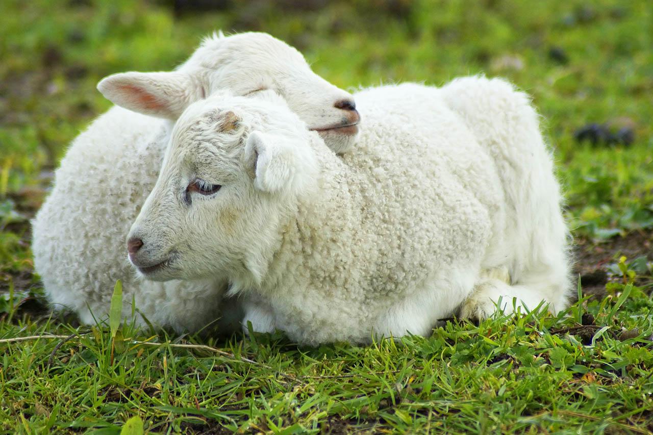 Lammfell Die Haut Toter Tierbabys