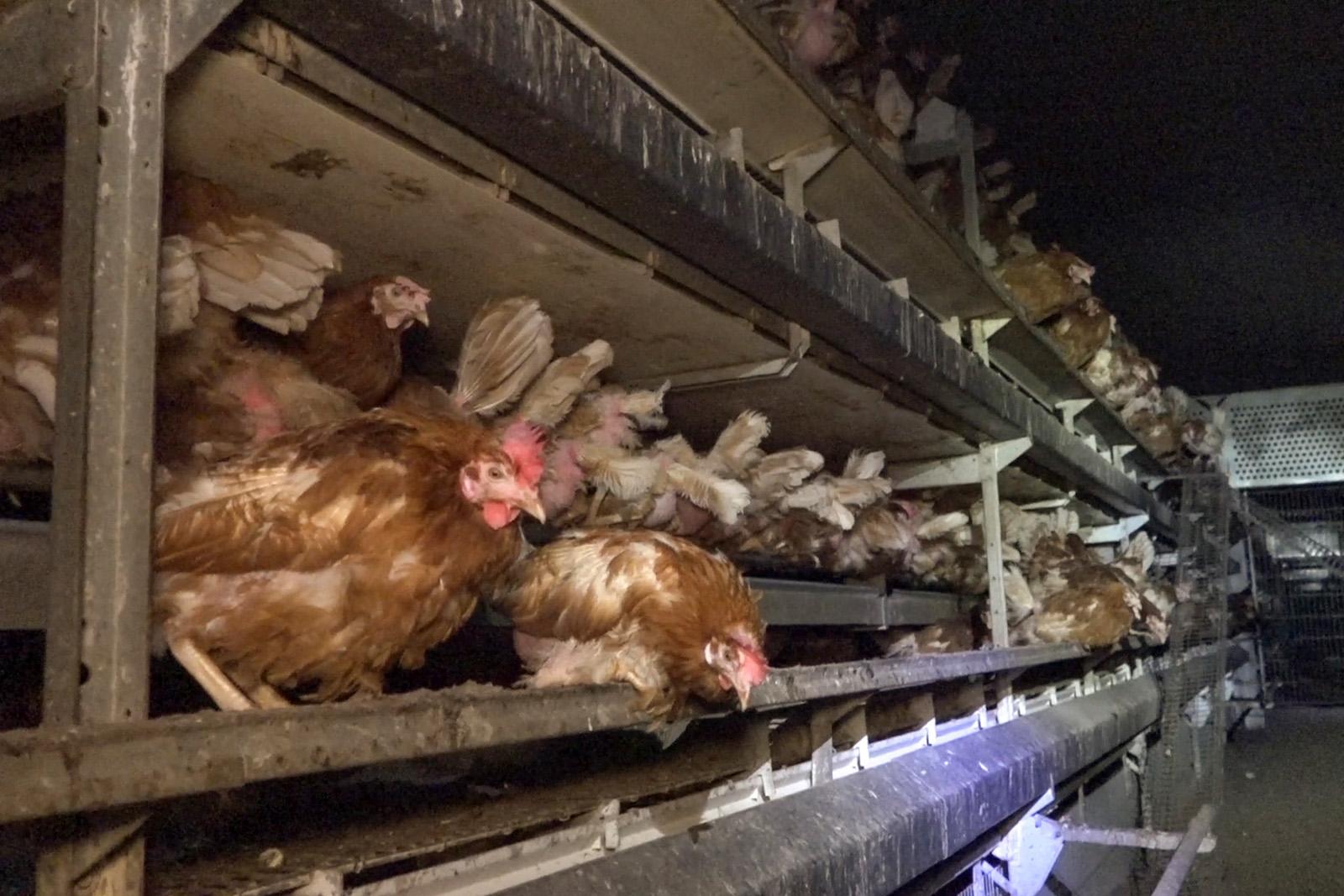 Geliebte Das große Leiden der Hennen für Eier #HJ_45