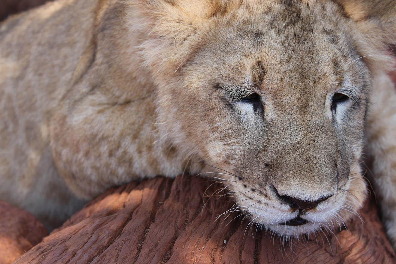 Totes Löwenmädchen Mira: Fehlbildungen durch Inzucht im Zoo?