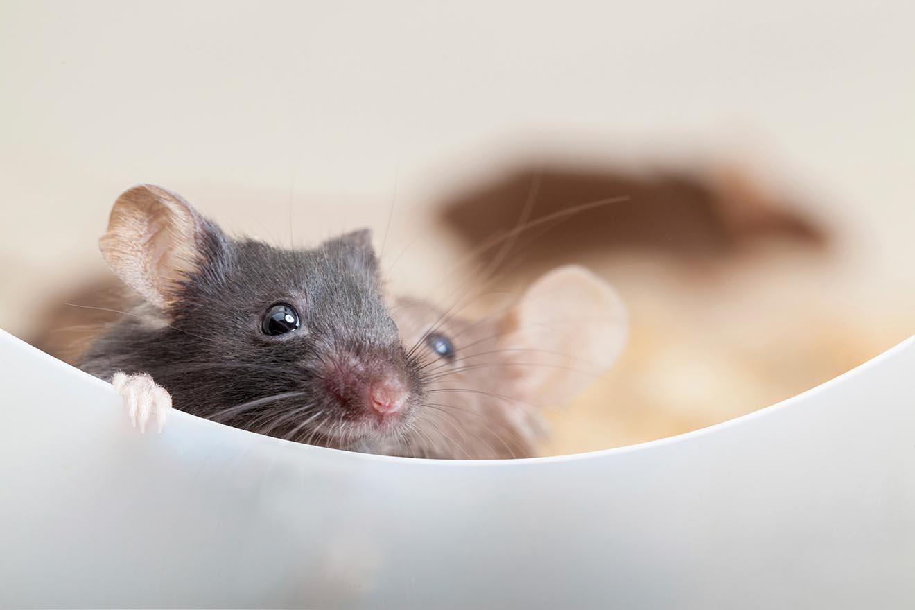 Mäuse und Ratten im Haus vertreiben – 5 tierfreundliche Tipps