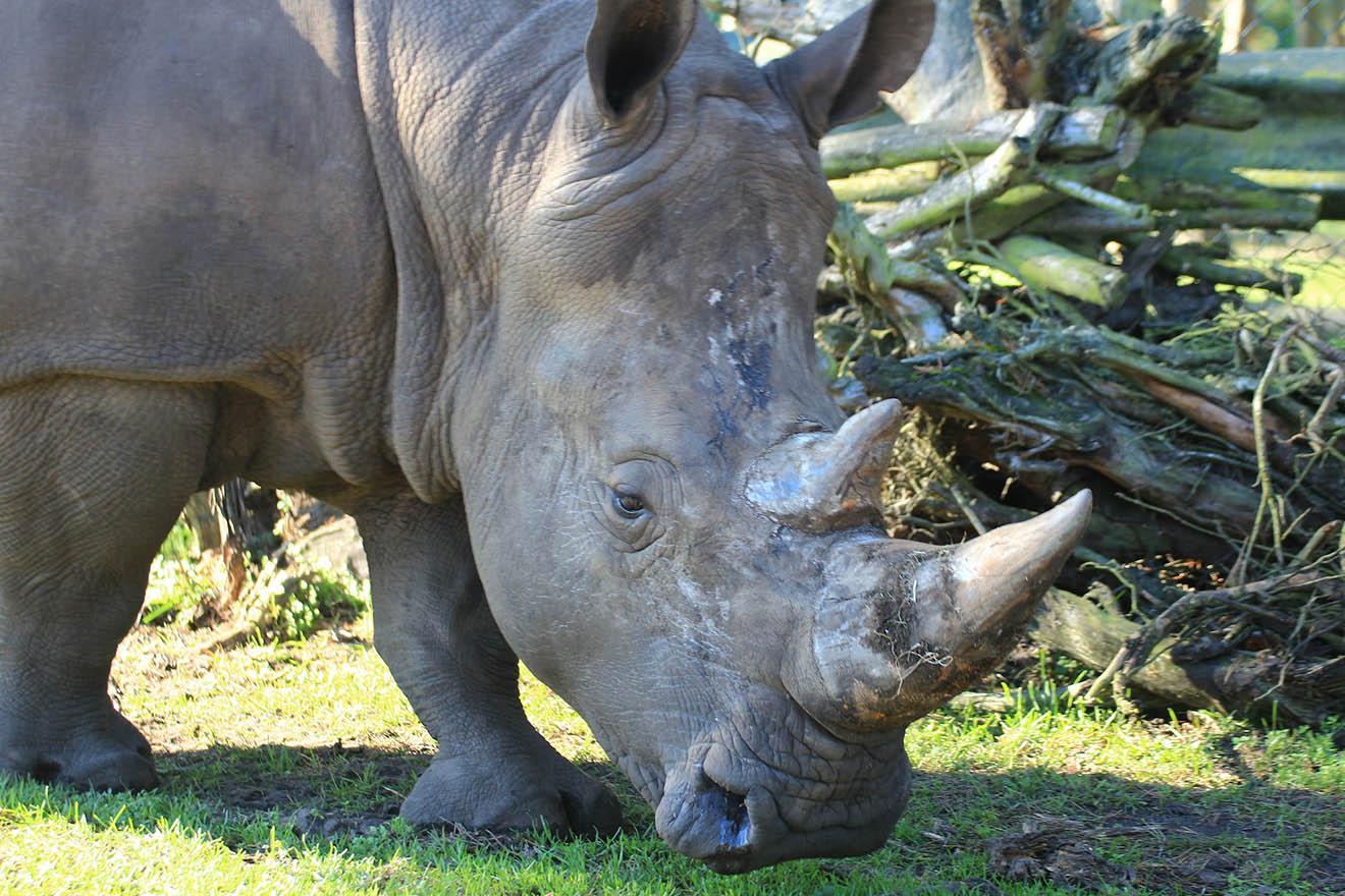 Leidvolle Nashornzucht im Labor: Wie weit darf Artenschutz gehen?
