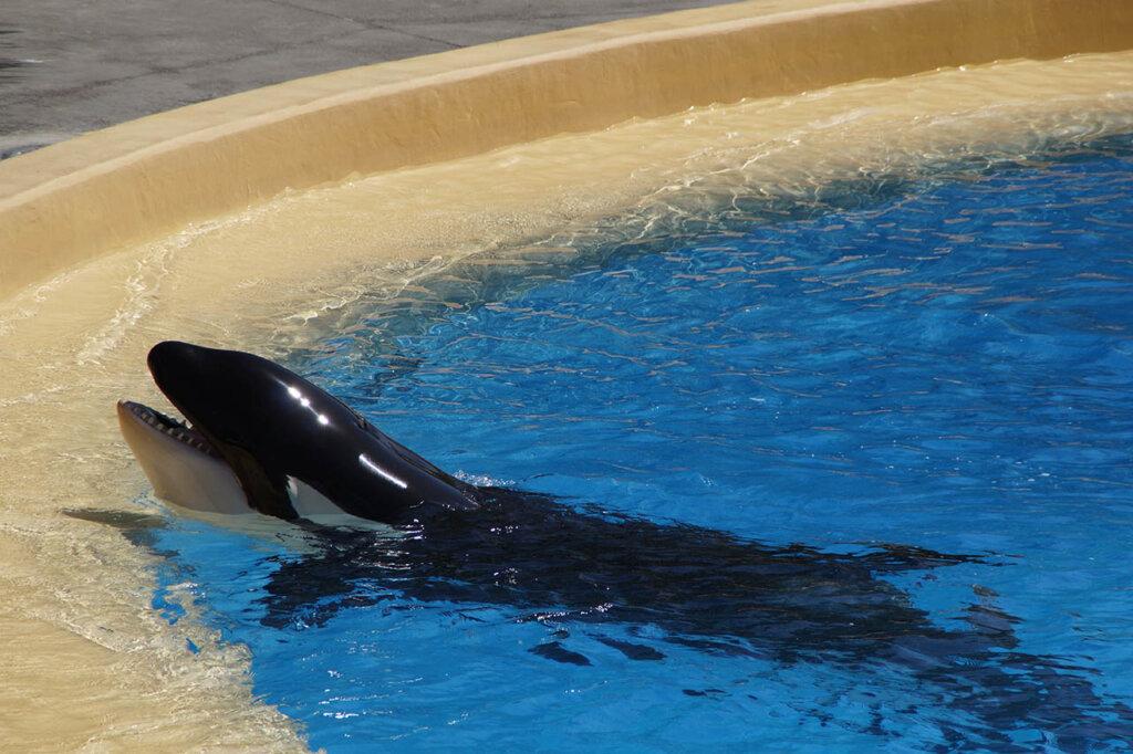 Orca in einem Wasserbecken