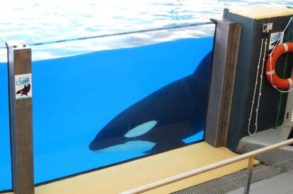 Orca in Gefangenschaft im Wasserbecken