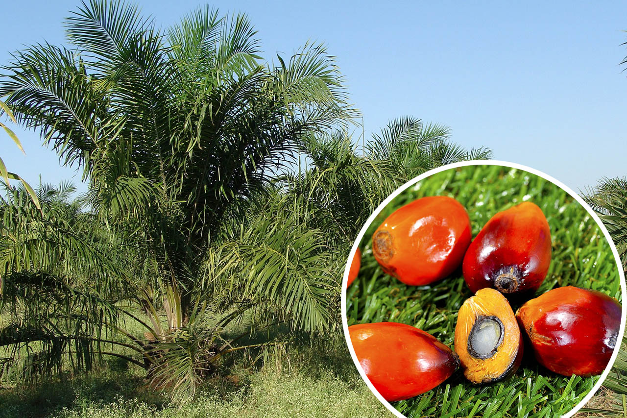 Palmöl: Wie schädlich ist Palmfett für den Regenwald?