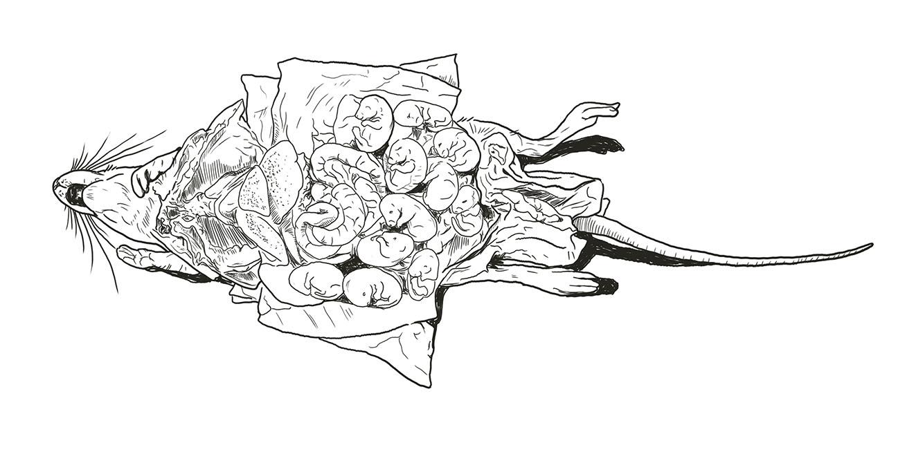 Karikatur schwangere Ratte im Tierversuch