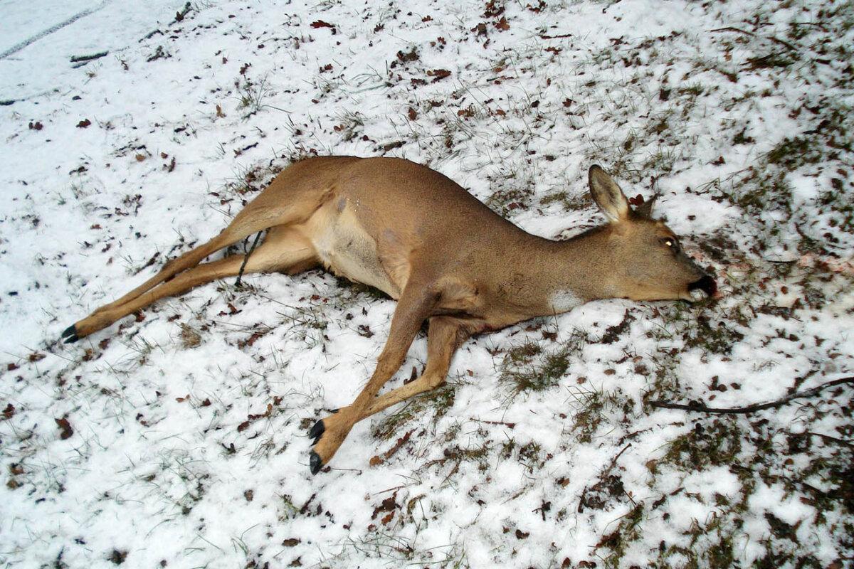 Jagdsaison: Diese Tiere werden am meisten von Jägern getötet