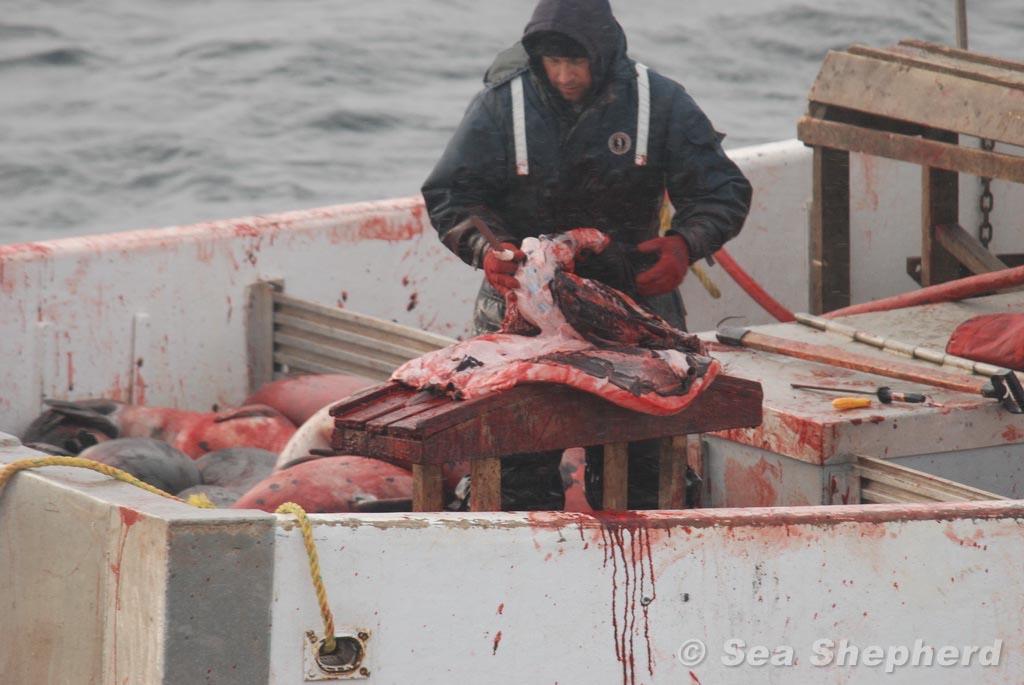 Person schlachtet Robbe auf einem Boot
