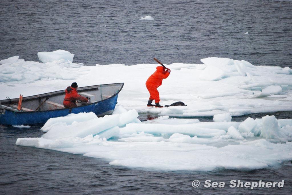 Robbenjäger schlägt auf Robbe ein