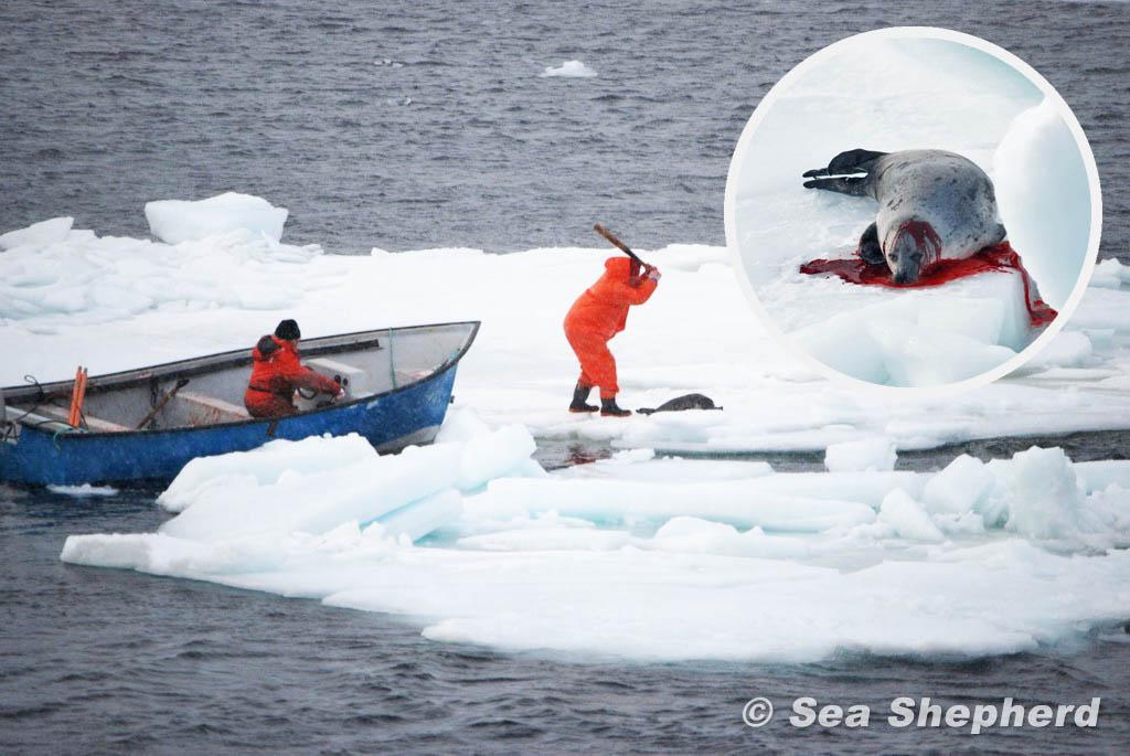Robbenjagd in Kanada – bitte helfen Sie uns, das zu beenden!