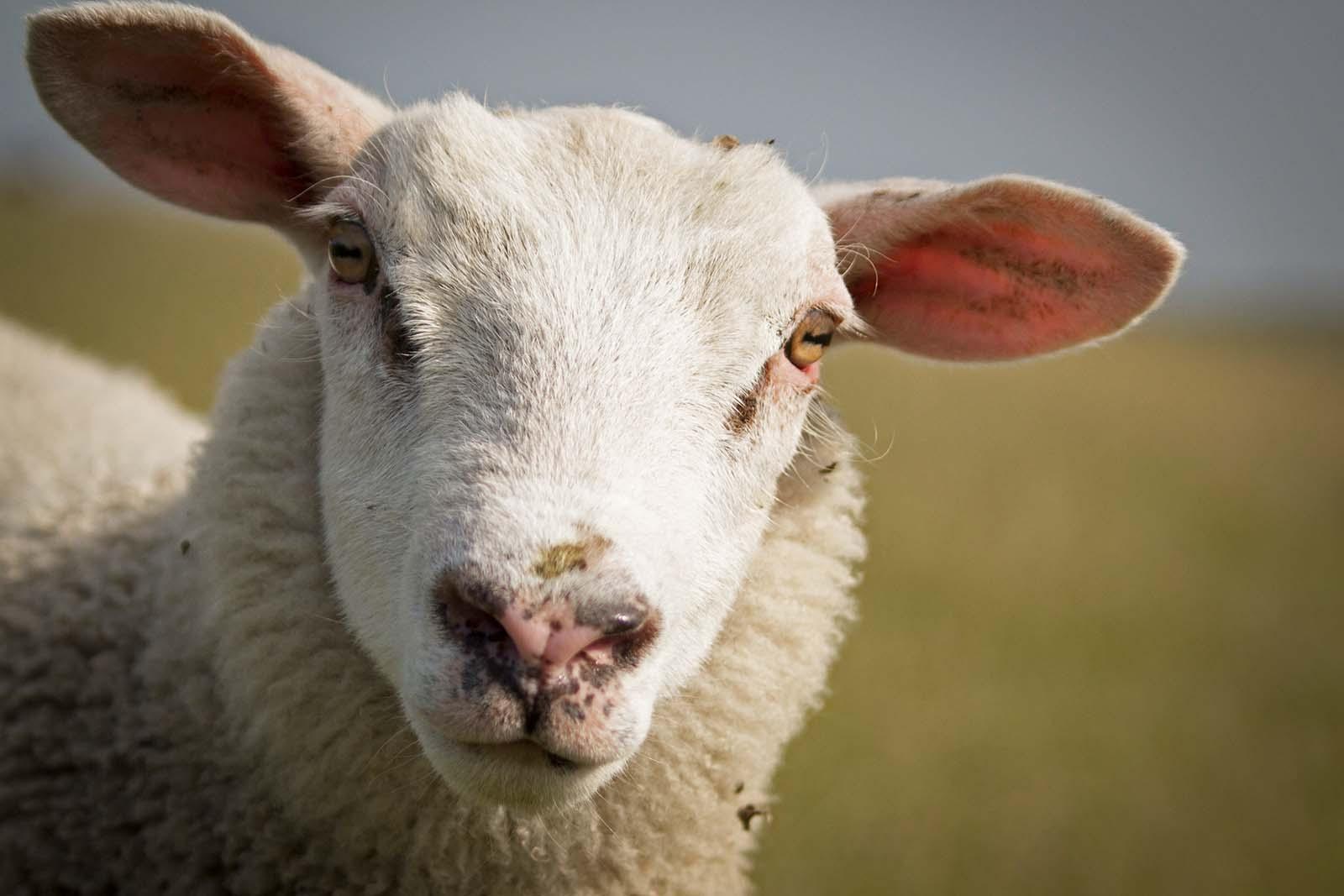 Das unbekannte Leben von Schafen: Süße, clevere und faszinierende Tiere