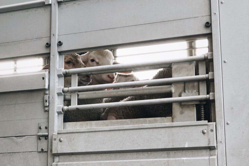 Schafe werden transportiert