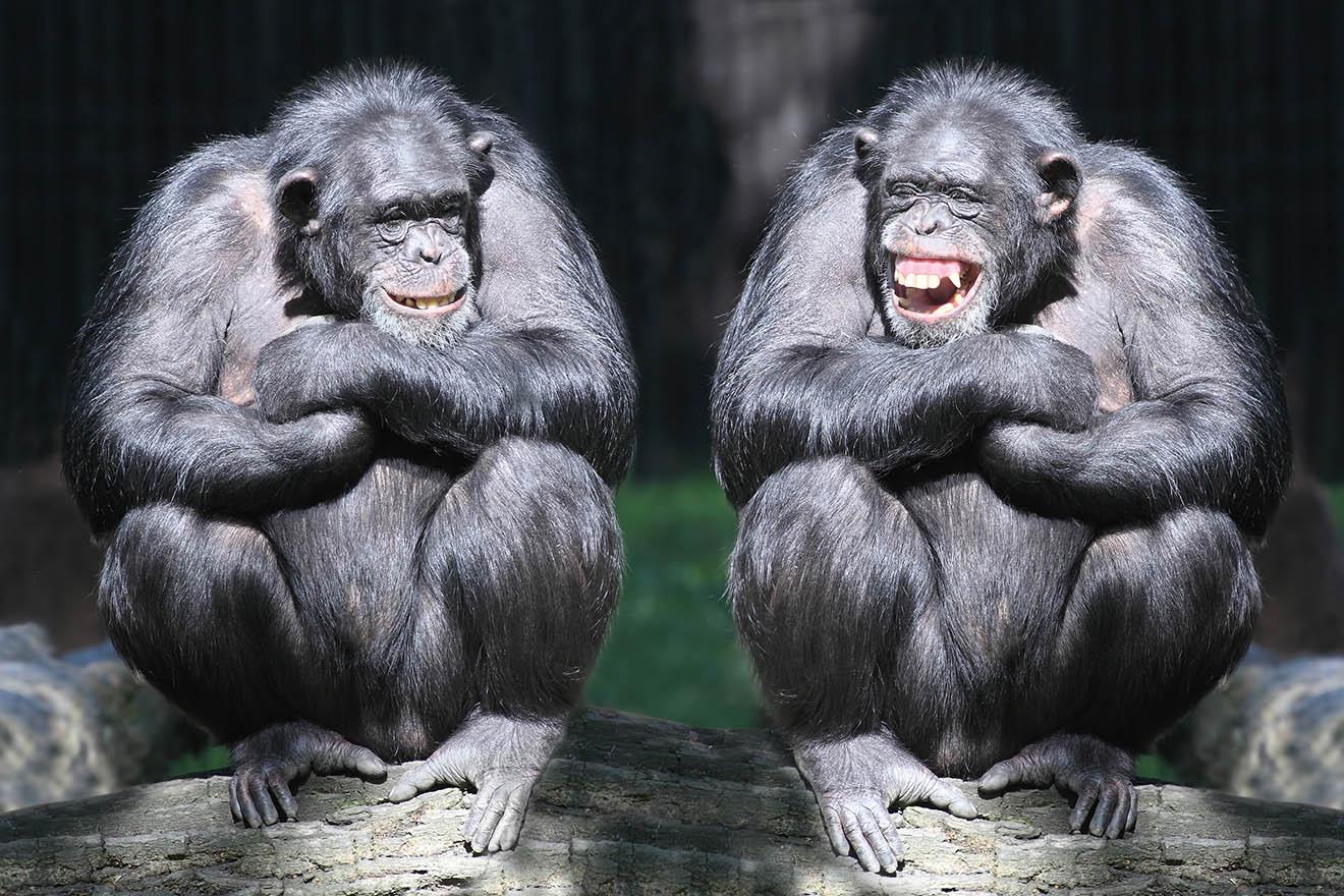 Der Vorhang ist gefallen: Keine Schimpansen mehr in Hollywood
