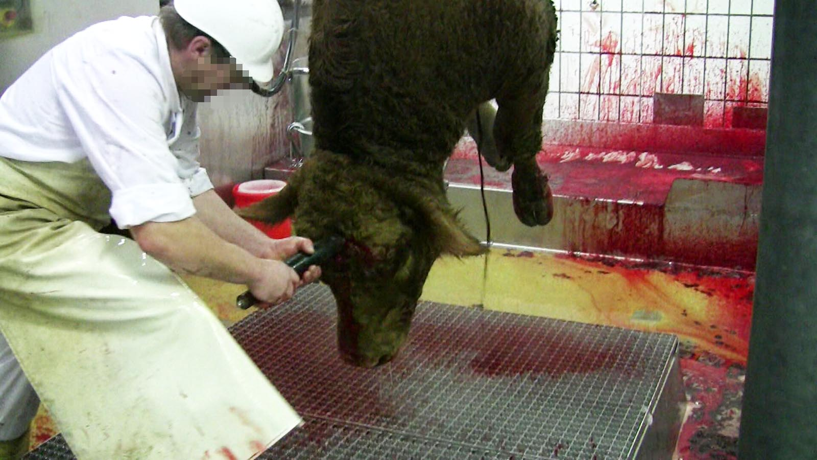 Schlachtung schwangerer Kühe: Kälber ersticken im Mutterleib