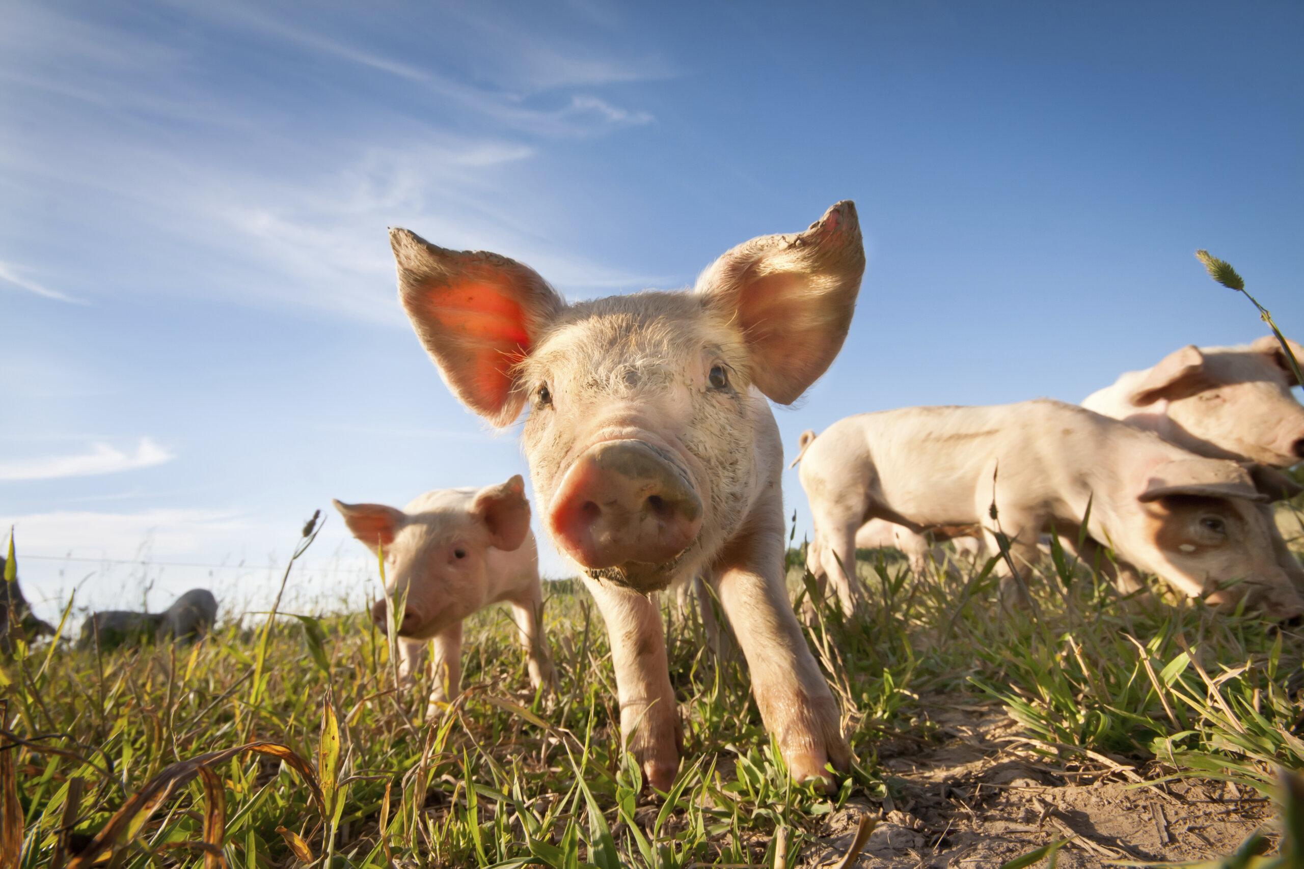 Das Schwein – 11 faszinierende Fakten über Schweine