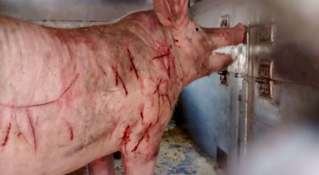 Systematische Tierquälereien wurden von der Politik legalisiert