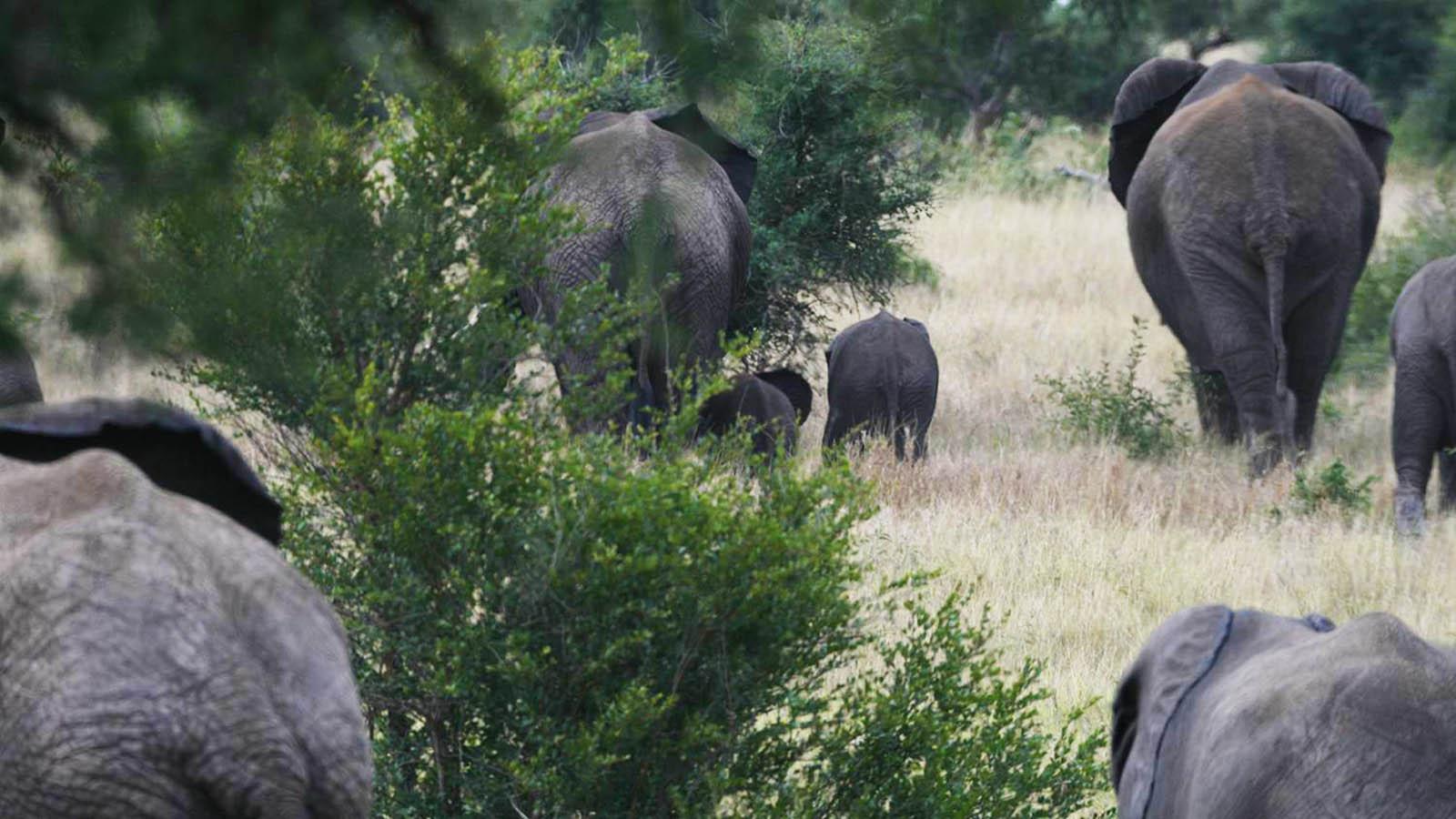Das unbekannte Leben der Elefanten - Faszinierende Eigenschaften ...