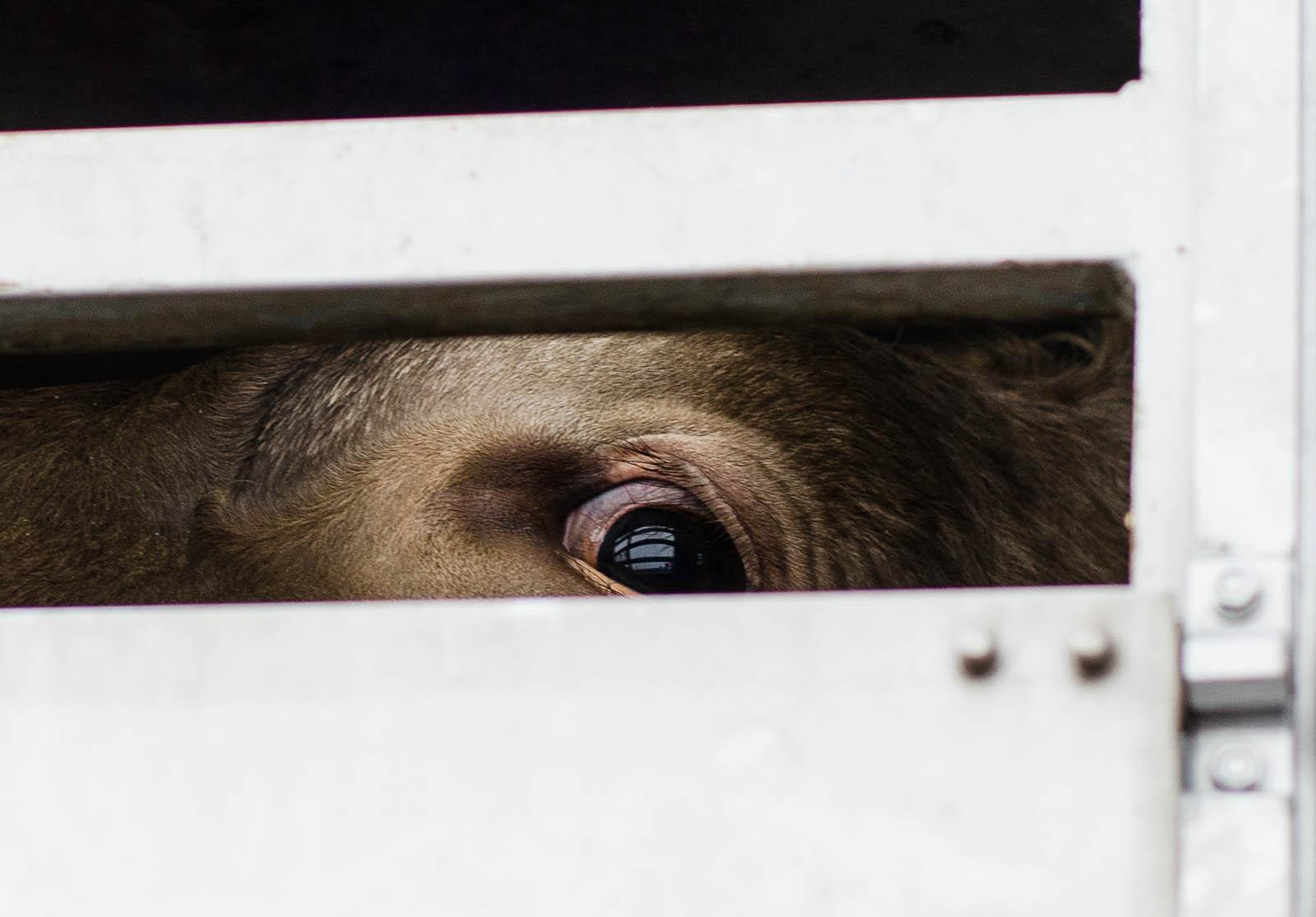 Gesetze schützen nicht: Tiertransporte bedeuten Leid und Tod!