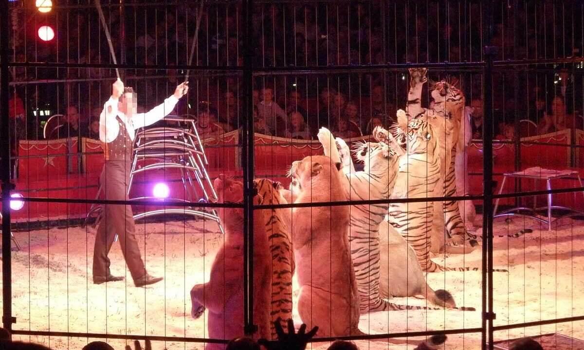 Dompteur mit Grosskatzen in der Manege Zirkus Charles Knie