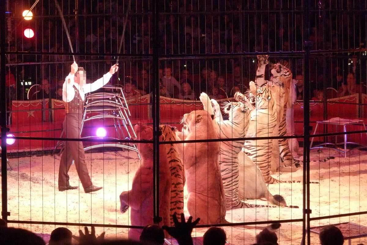 Löwen und Tiger im Zirkus – so sehr leiden die Großkatzen