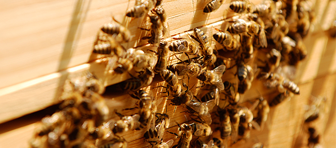 Honig Von Bienen Aus Der Massenzucht