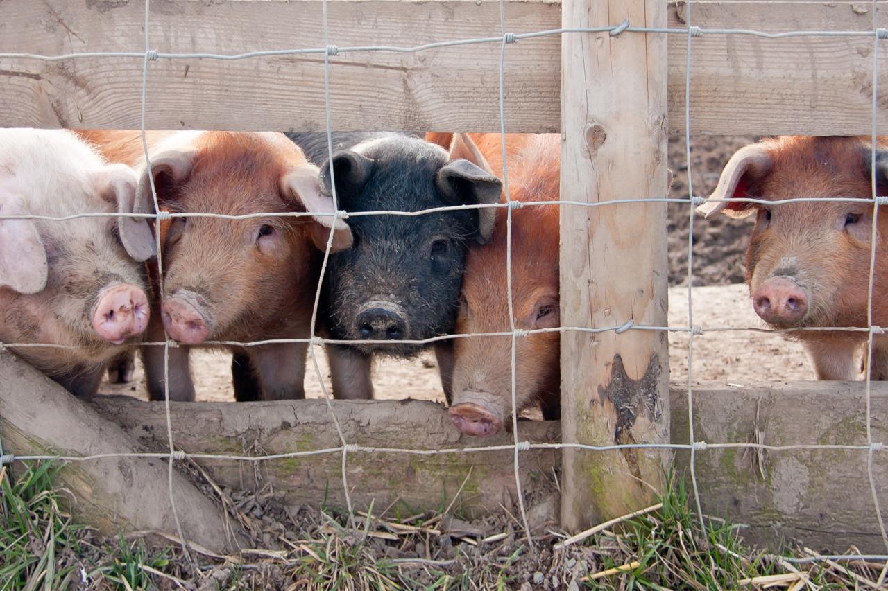 5 Gründe gegen Fleisch, die Sie nachdenklich stimmen werden