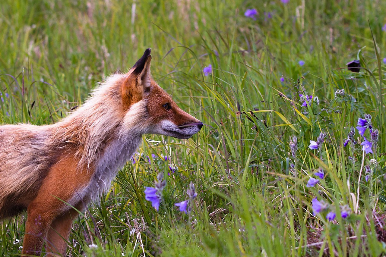 Fuchsbandwurm: Die Jagd fördert seine Verbreitung