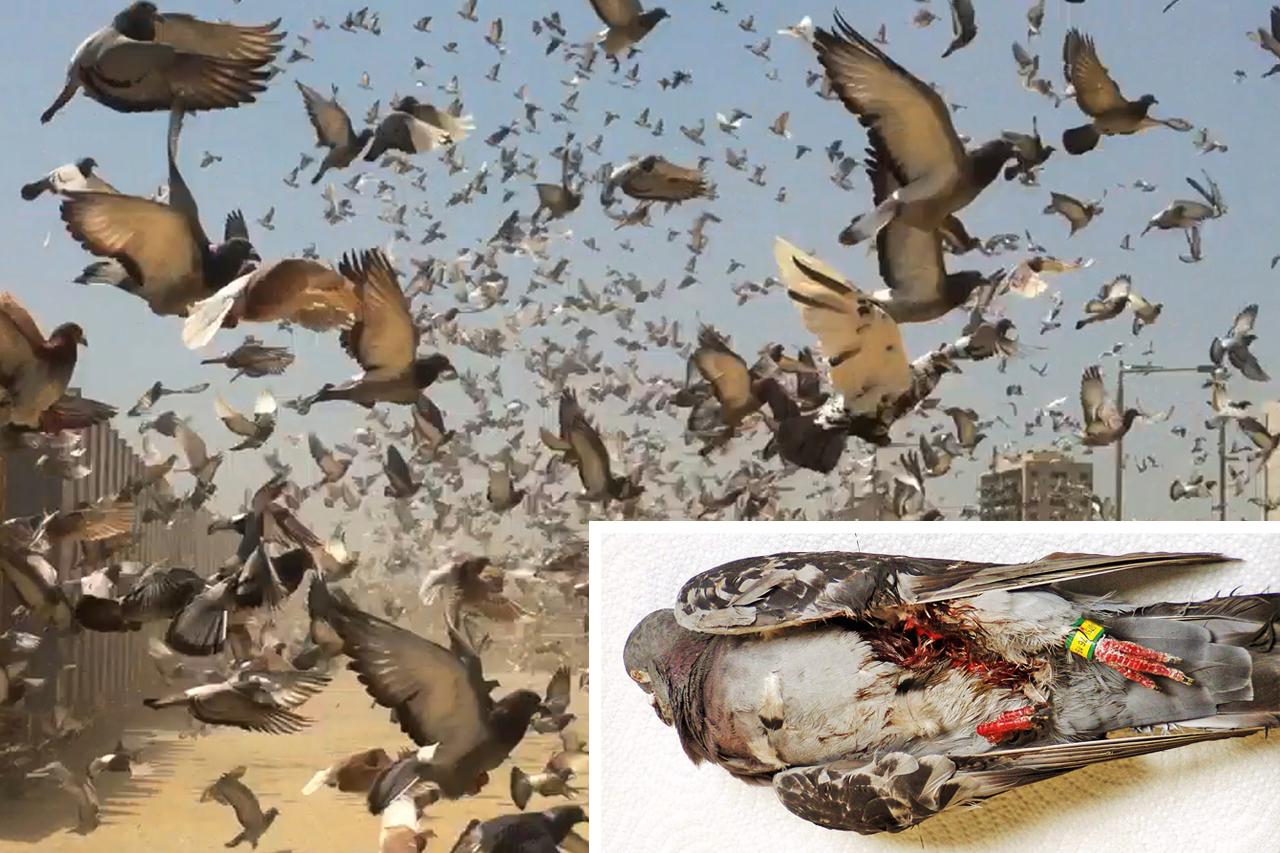 Skrupellose Tribünenflüge: 50 % der Tauben kehren niemals zurück