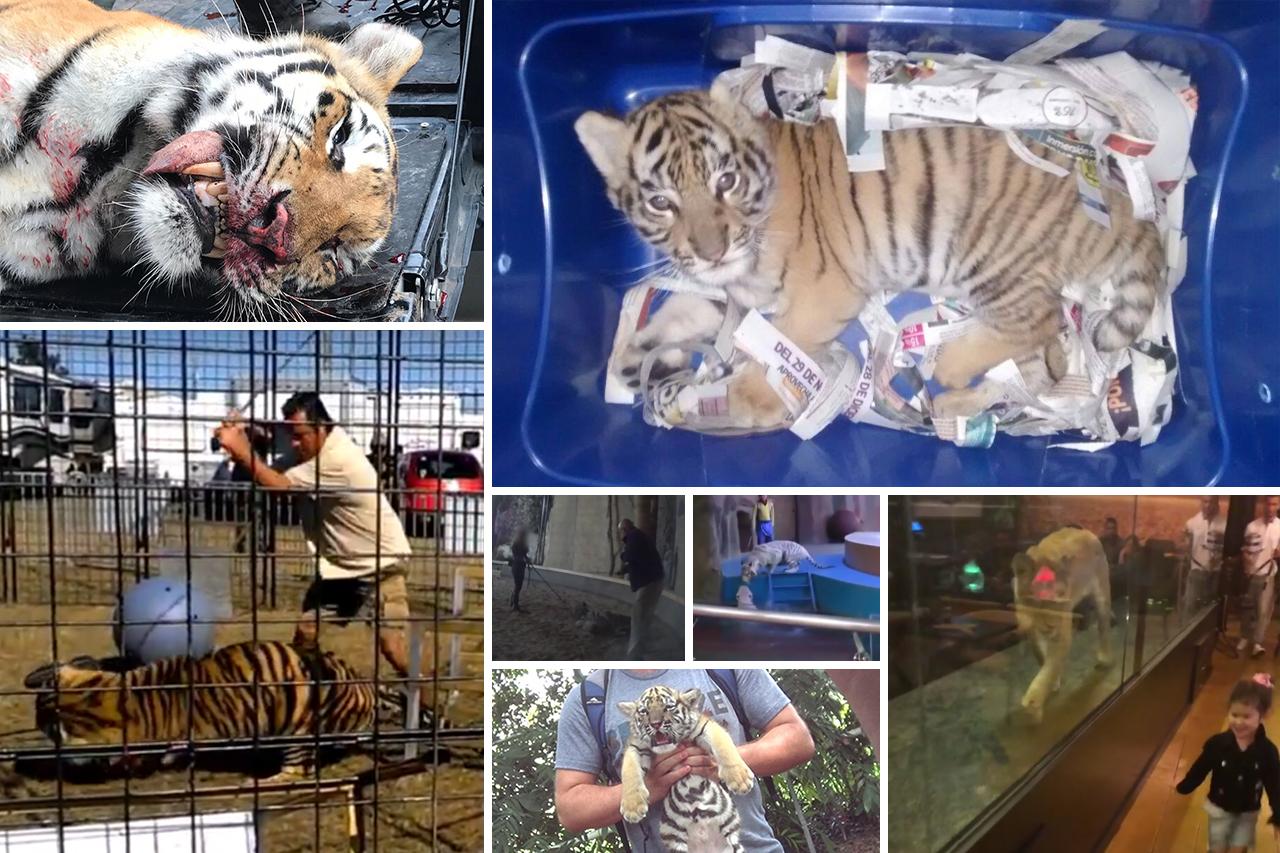 6 Fälle, in denen Tiger von Menschen gequält worden sind