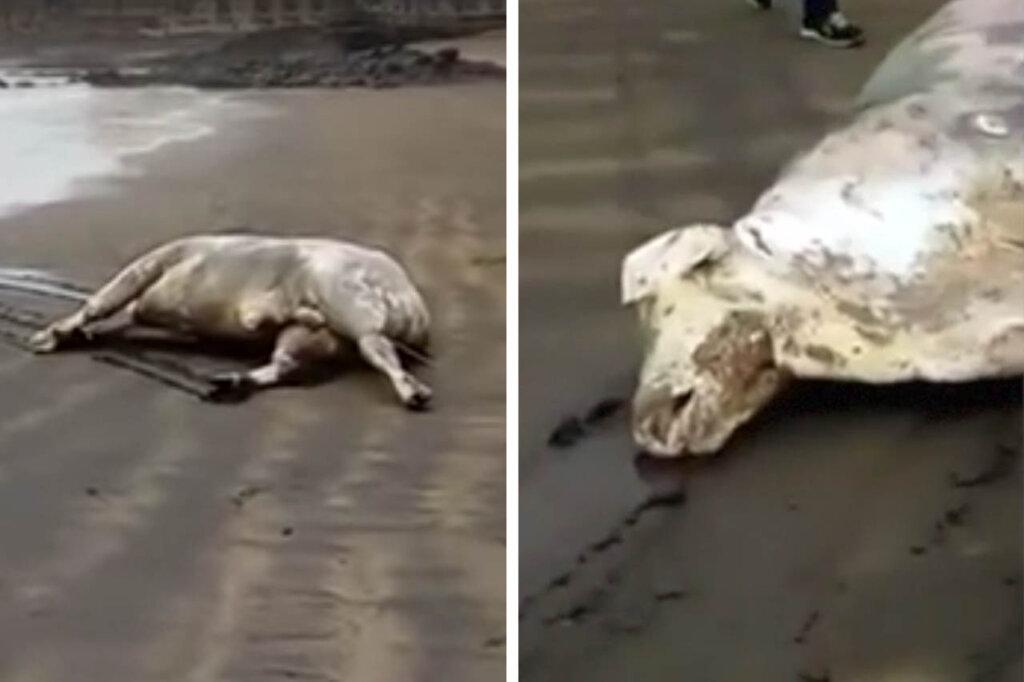 Tote Kühe am Strand angespült