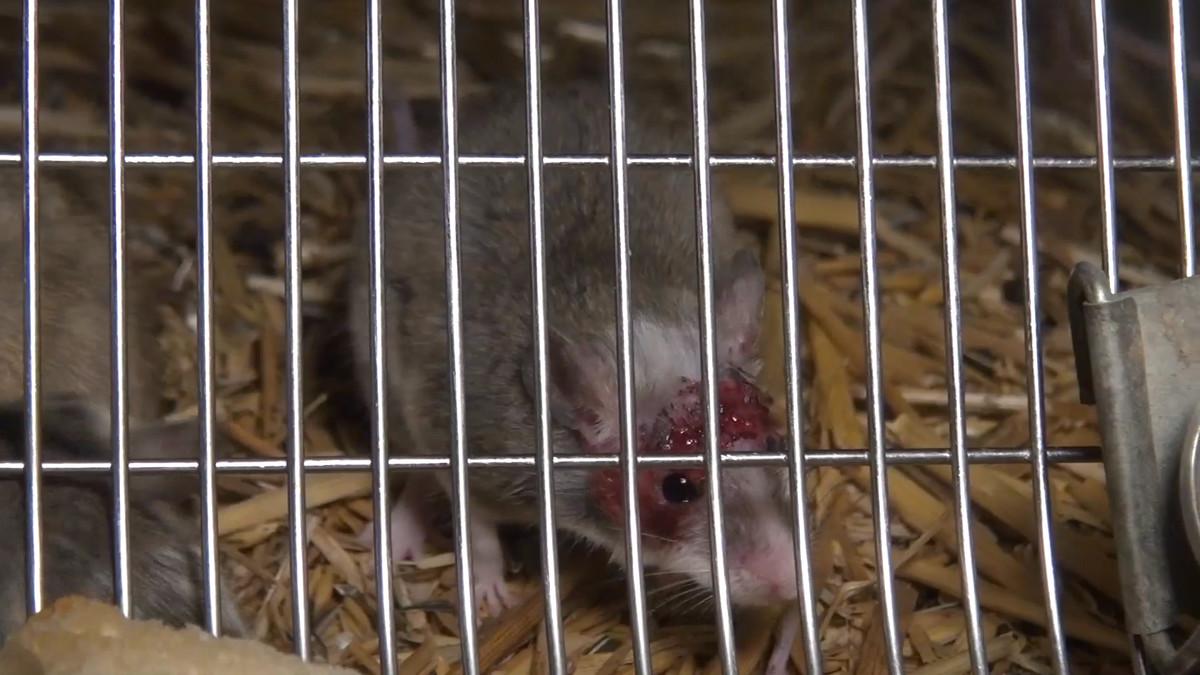 Verletzte Maus im Käfig
