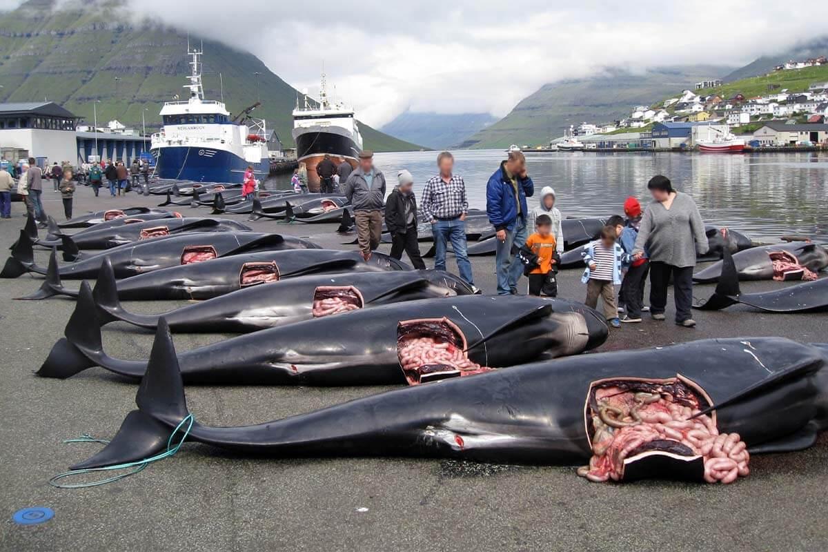 Protestieren Sie gegen die blutigen Walabschlachtungen auf den Färöer-Inseln!