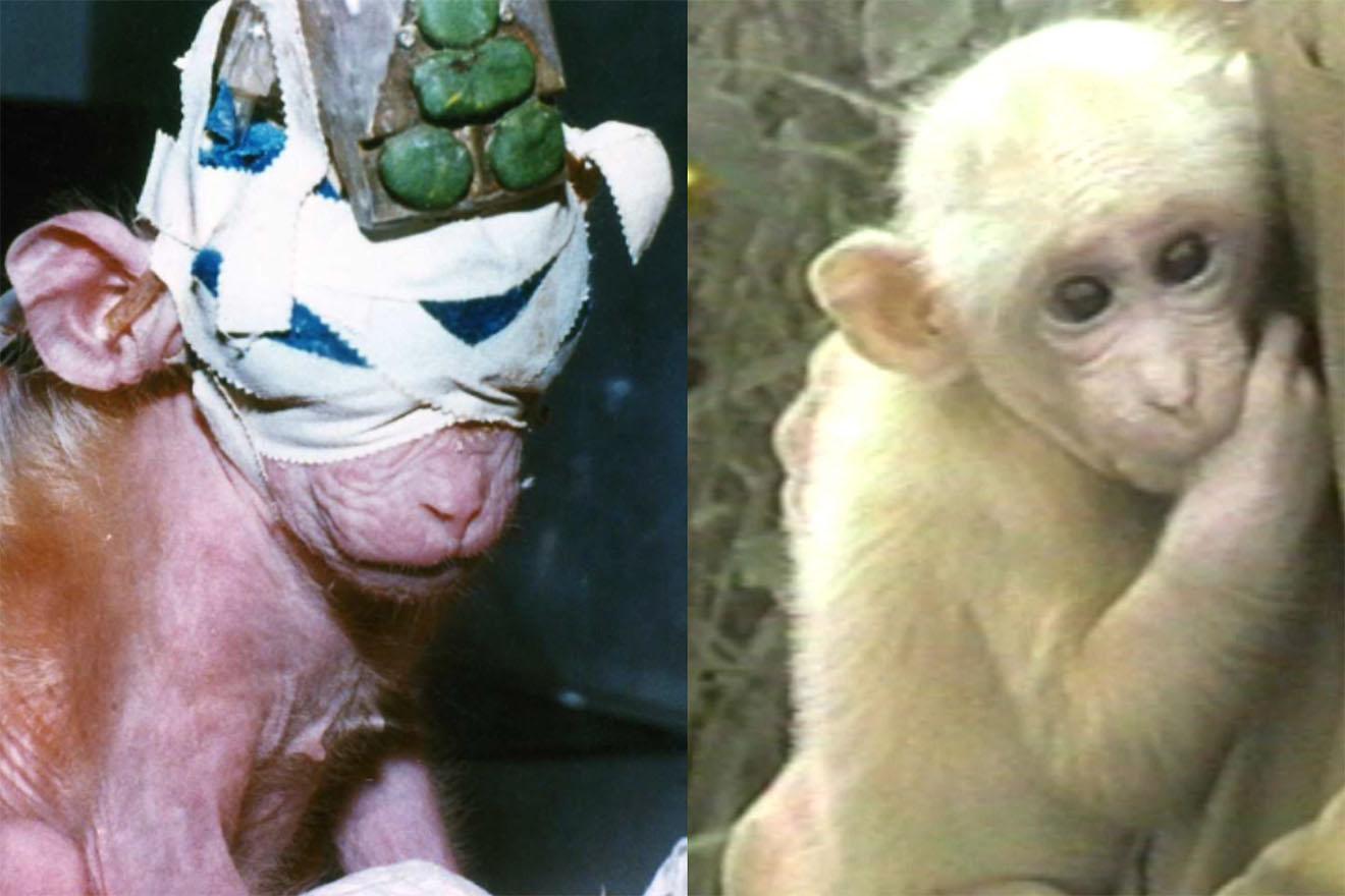 Zugenähte Augen: Affenbaby aus Tierversuchslabor gerettet