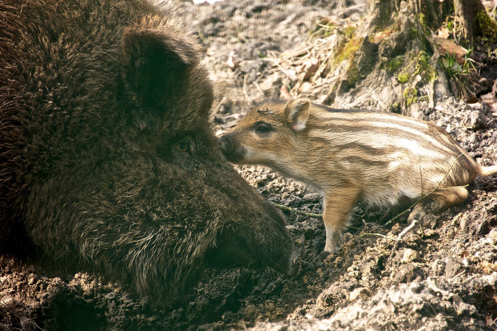 4 Gründe, warum die Jagd auf Wildschweine verboten werden sollte
