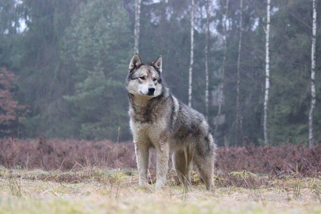 Wolf auf der Wiese