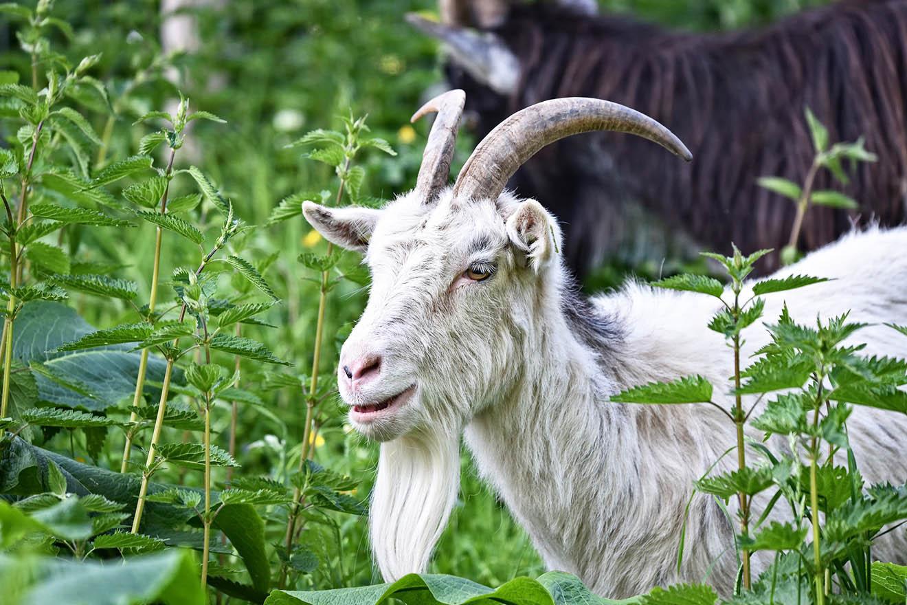 Die Ziege – 6 faszinierende Fakten über Ziegen