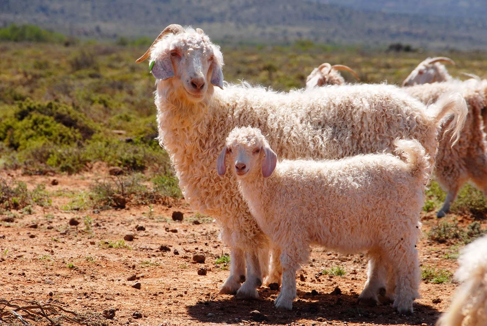 Diese zahlreichen Unternehmen verbannen Wolle aus Mohair