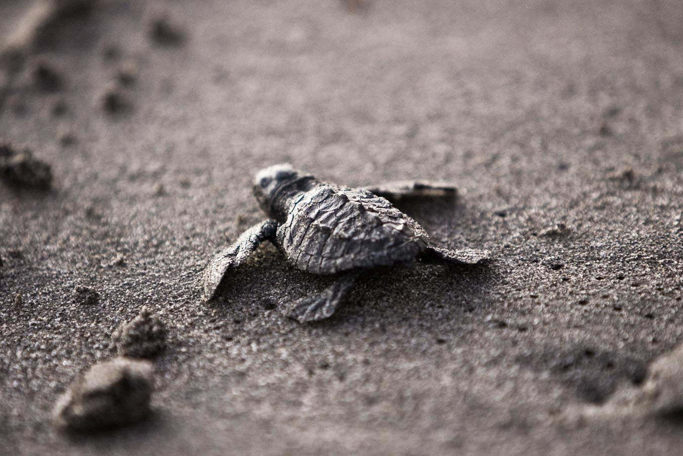 So stark bedroht unser Plastikmüll junge Meeresschildkröten