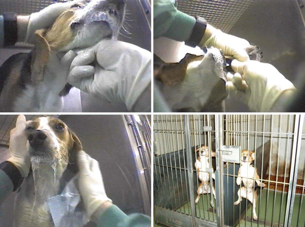 Tierversuche an Beaglen