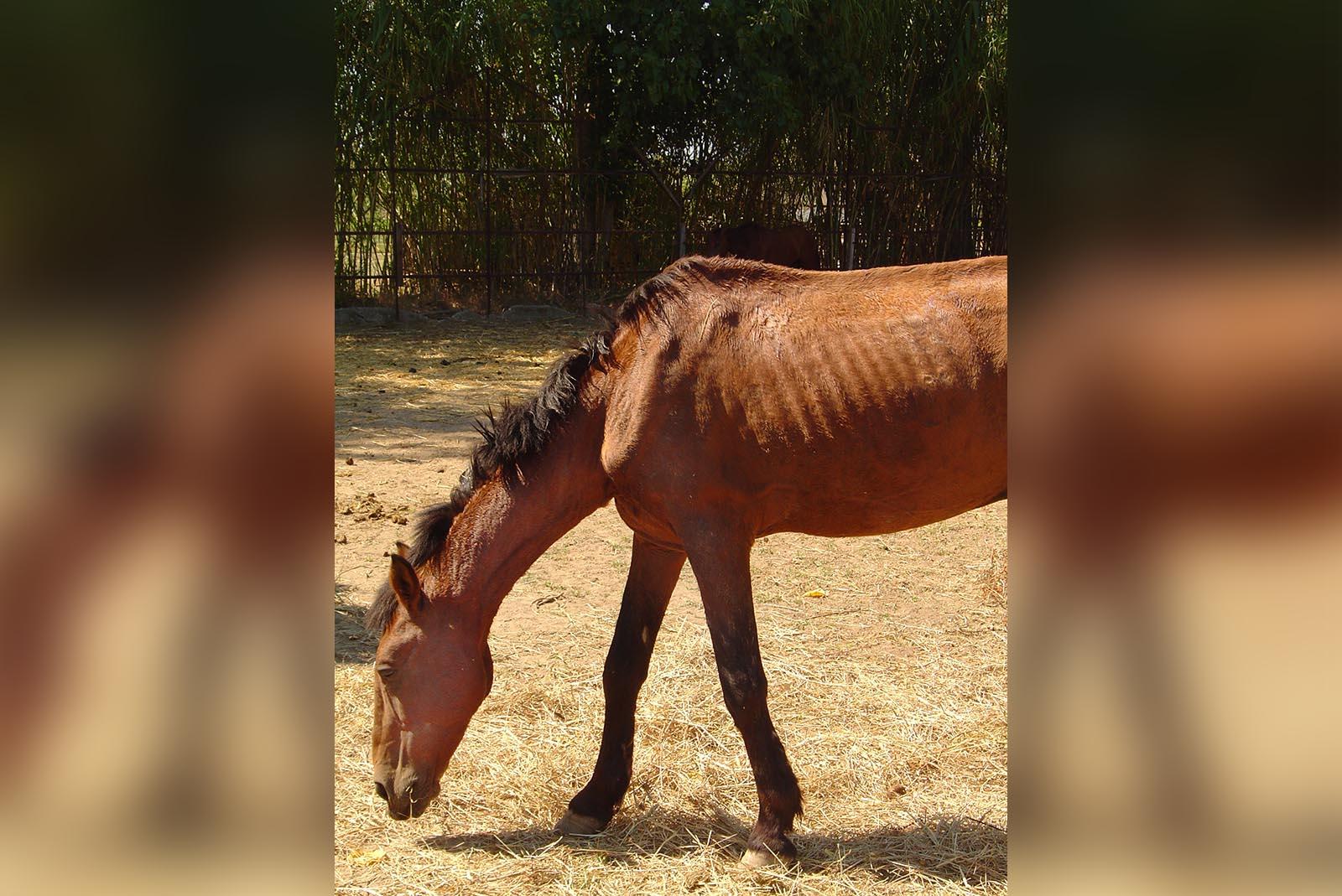 Blutfarmen in Südamerika: Pferdeblut für die deutsche Schweinezucht