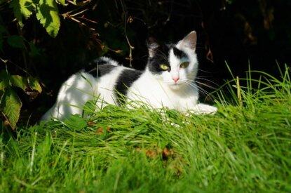 Katze liegt im Schatten im Gras