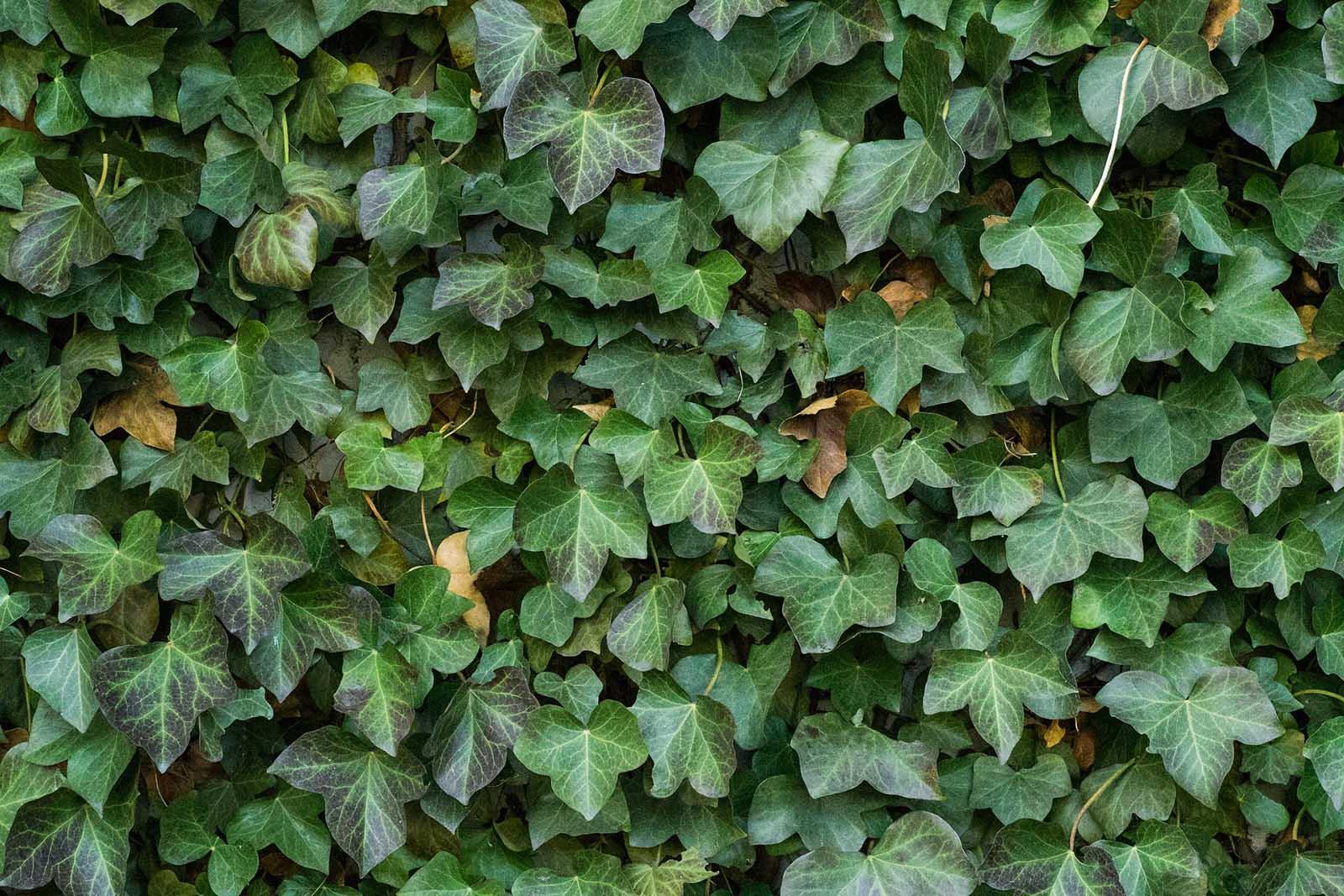 Die 20 giftigsten zimmerpflanzen f r tiere - Efeu zimmerpflanze giftig ...