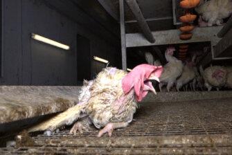 Schockierende Einblicke in die deutsche Eierindustrie