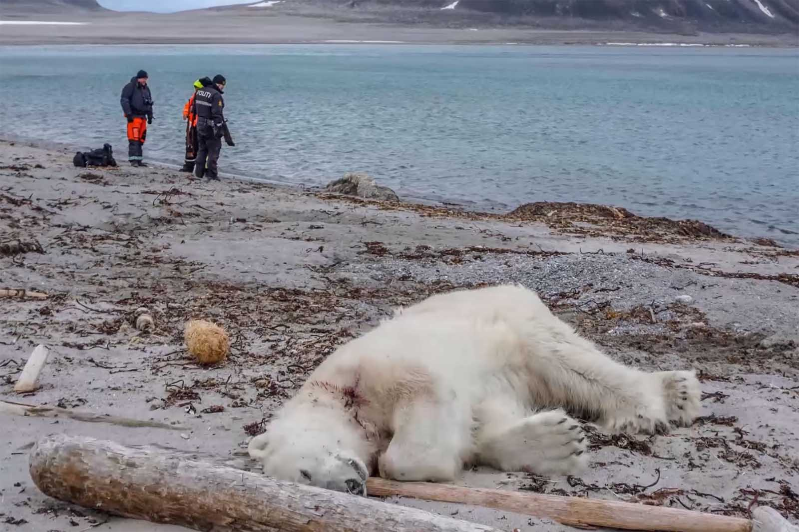 Warum die Touristen am Tod des erschossenen Eisbären schuld sind