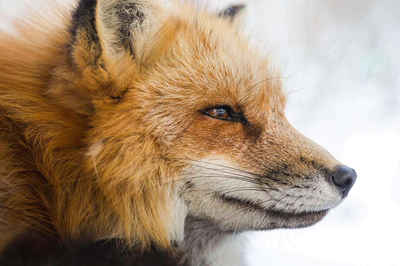 Warum Es Nicht Okay Ist Einen Fuchs Als Haustier Zu Halten