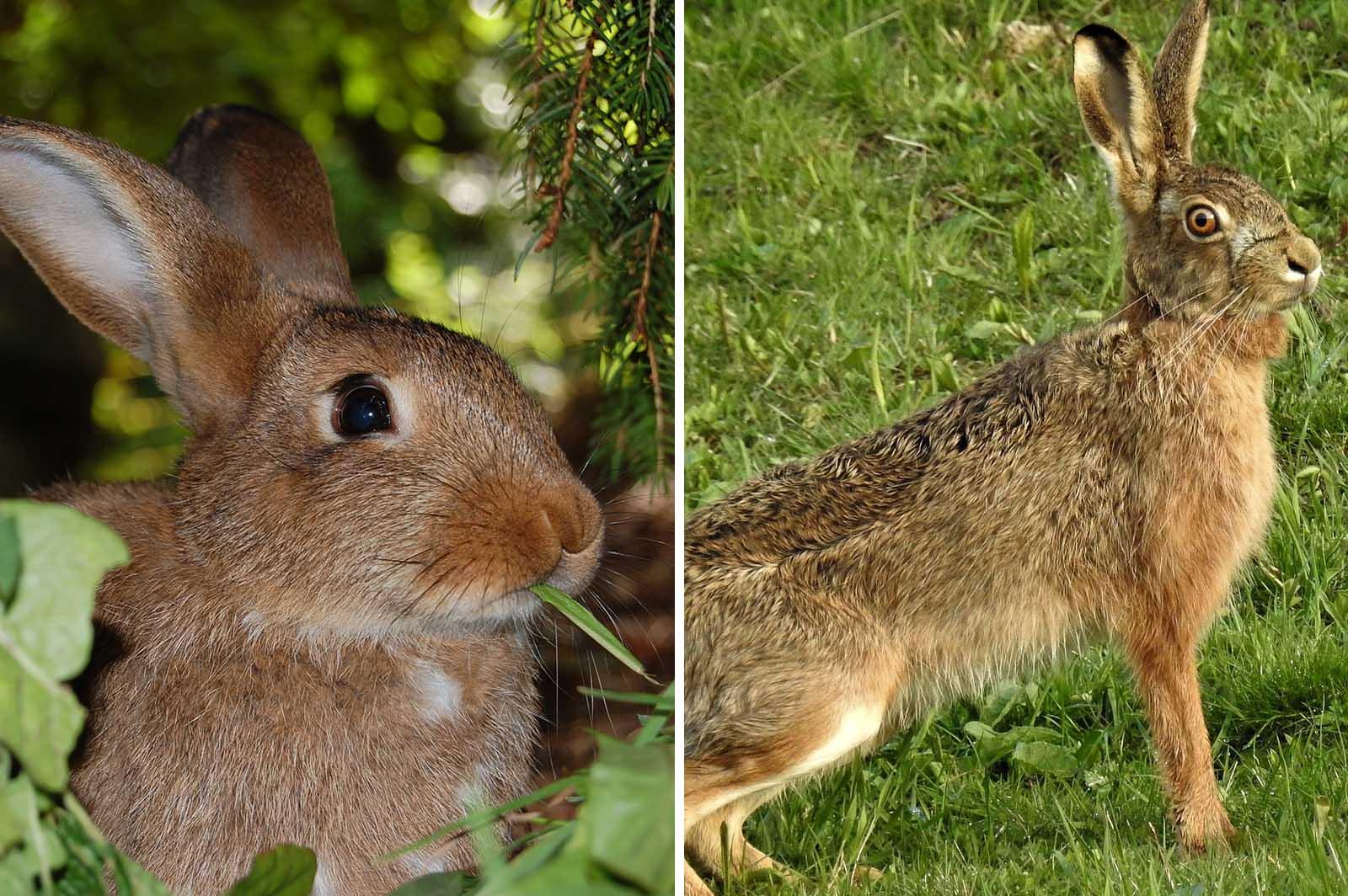 Kaninchen und Feldhase