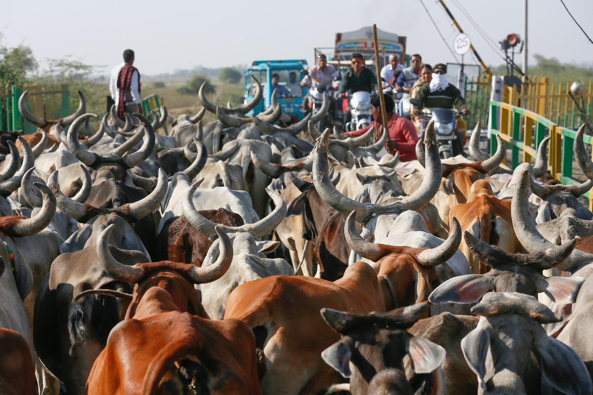 """Leder aus Indien – von wegen """"heilige Kühe""""!"""